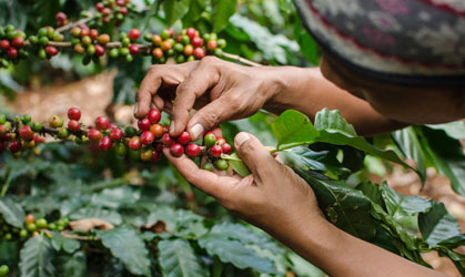 bali coffee plantation tour