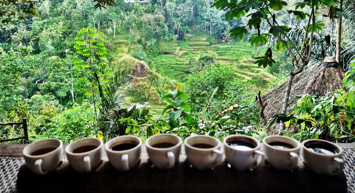 bali pulina coffee plantation